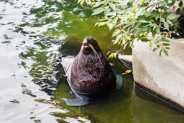 Walrus sits in the water the moscow zoo russia.