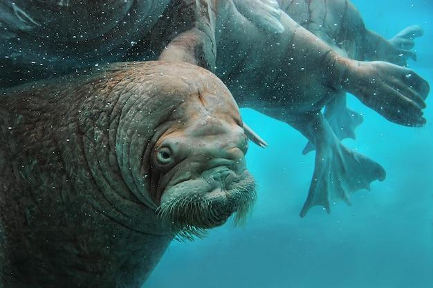Walruses swim under water in the zoo