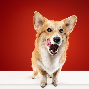 何かおいしいものが欲しい。ウェルシュコーギーペンブロークの子犬がポーズをとっています。かわいいふわふわの犬やペットは、赤い背景に孤立して座っています。スタジオ写真撮影。テキストまたは画像を挿入するための負のスペース。