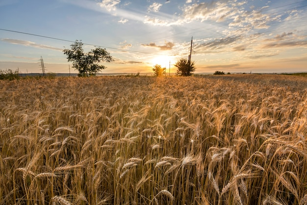 Warm colored golden harvesting wheat field.