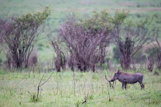 Бородавочники пасутся в саванне кении