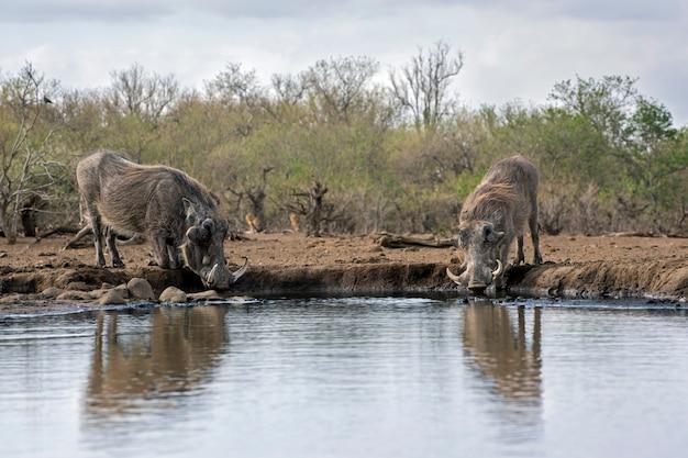 Бородавочники пьют воду из озера