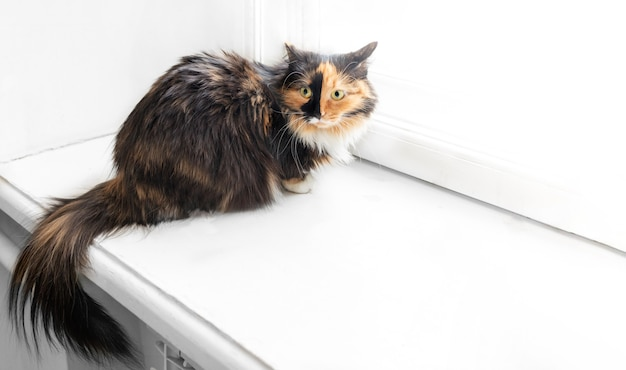 Wary or surprised three-color fluffy cat is sitting on white windowsill with copy space for text.