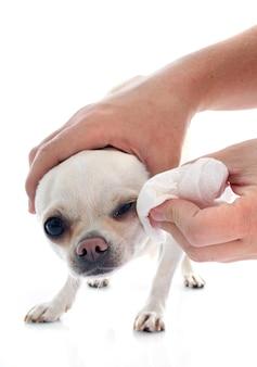 Washing chihuahua