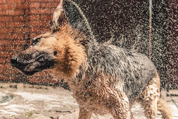 Washing a dog in the backyard.