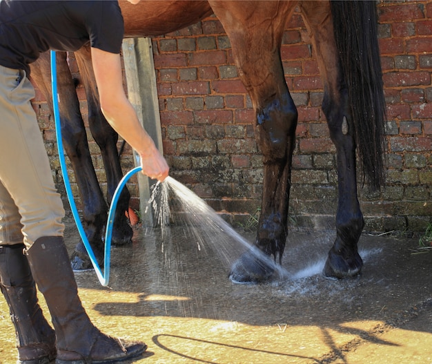 Washing a horse