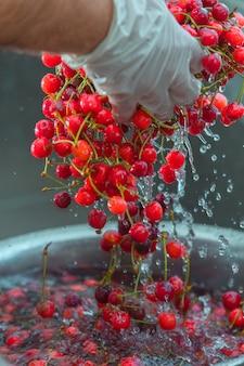 물에 붉은 체리 열매를 씻기