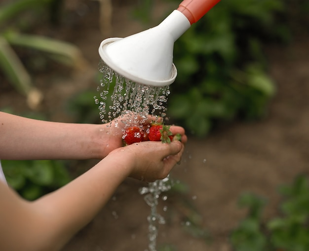Washing strawberries in the hands of a watering can.