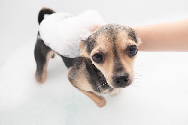 犬を洗う。女性の手が泡で浴槽に子犬のペットを浸します