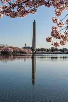 Washington monument reflected in the tidal basin framed by cherry blossoms