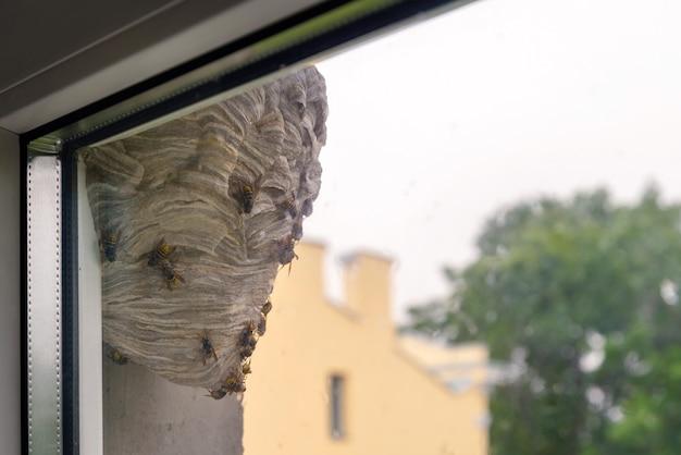 Осиный улей, висящий у окна в городской местности.