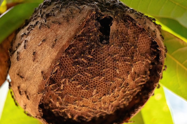 Wasp nest of long-waisted honey wasp of the species polybia paulista