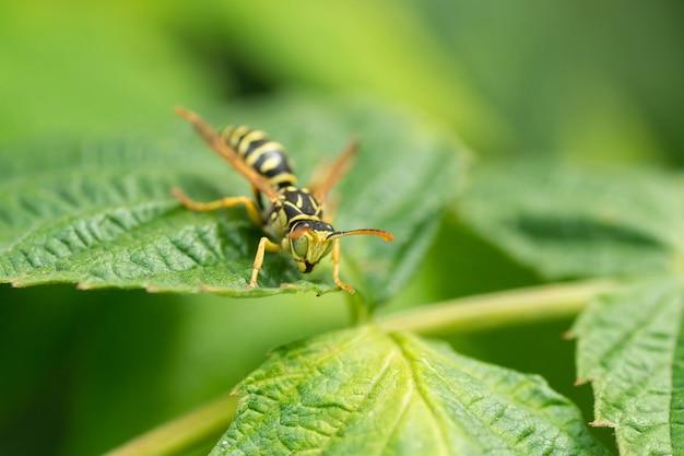 緑の葉にハチ。ハチのクローズアップの体の部分。昆虫のクローズアップ。ハチの黒い体に黄色の模様。緑の背景。自然、マクロ画像
