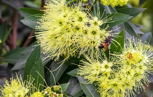 庭の黄金のパンダの花から蜂蜜を集めるハチまたは野生のミツバチがクローズアップ