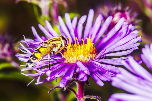 A wasp pollinates pyrethrum in the garden, background macro photo