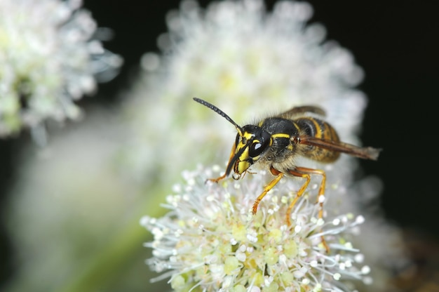 Wasp sits on a flower - front view