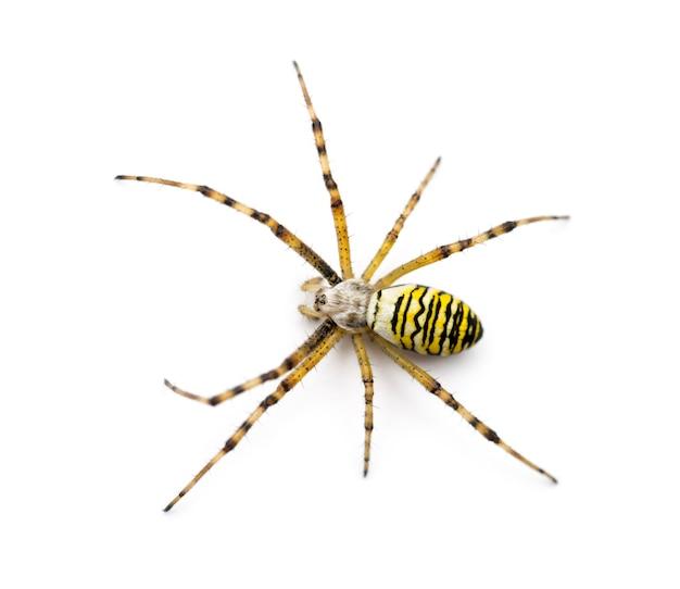Wasp spider, argiope bruennichi, against white space