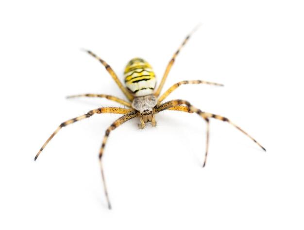 Wasp spider, argiope bruennichi, against white surface