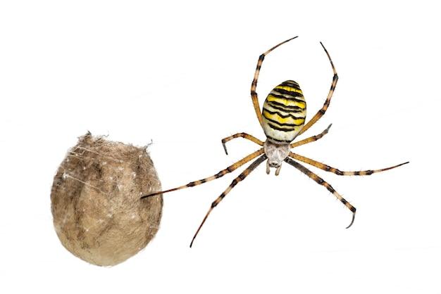Wasp spider, argiope bruennichi, hanging next to its egg sack against white space