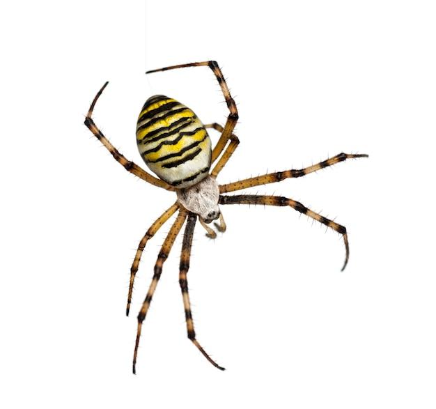 Wasp spider, argiope bruennichi, hanging on silk against white surface