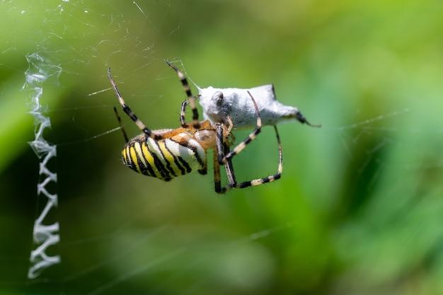 먹이와 웹에 말벌 거미 (argiope bruennichi). 웹에 검은색과 노란색 줄무늬 argiope bruennichi 말벌 거미