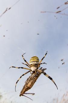 Wasp spider (argiope bruennichi) with her prey in nature macro with sunset light