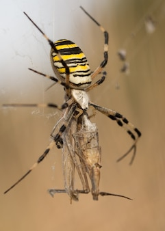 Wasp spider (argiope bruennichi) with her prey in nature macro with sunset light