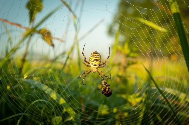 そのネットでのナガコガネグモの狩猟