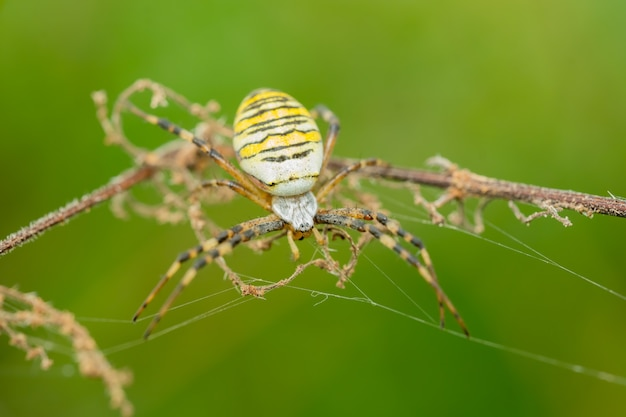 Wasp spider hunting in its net