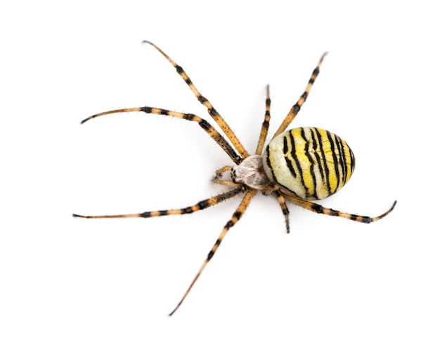 Wasp spider viewed from up high