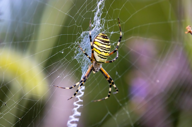 Wasp spider on web close up