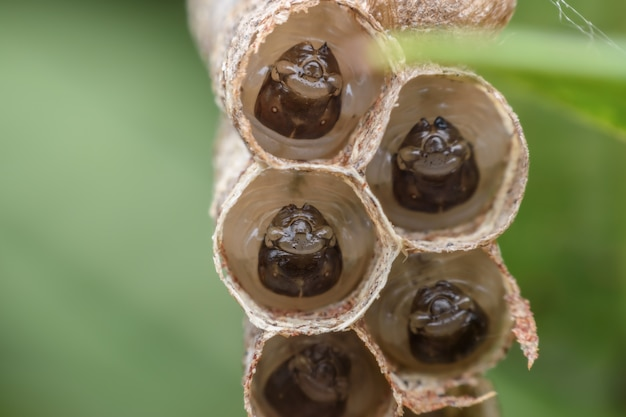 Waspの巣のスーパーマクロwaspの幼虫