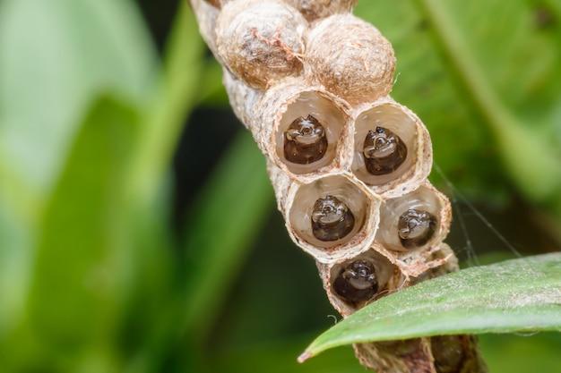 自然の中でワップの巣のスーパーマクロwaspの幼虫