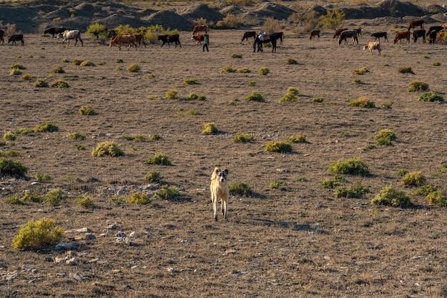 소 떼를 지키는 경비견