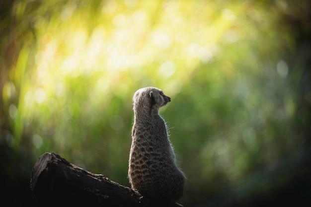 Watchful meerkat in the woods