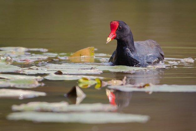 Водяная птица плавает над озером 0