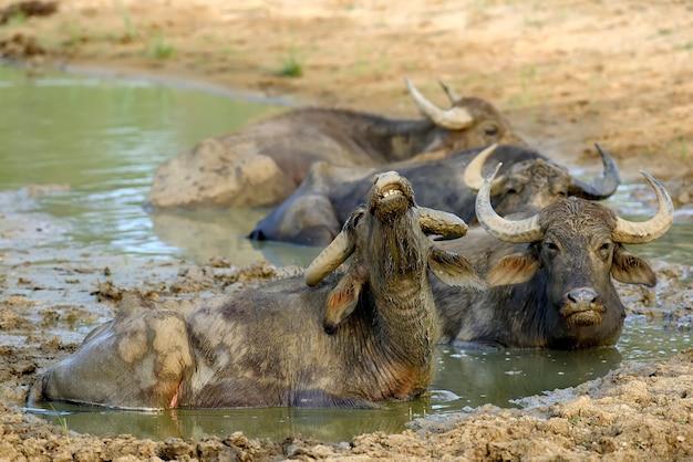 스리랑카의 호수에서 물소 목욕