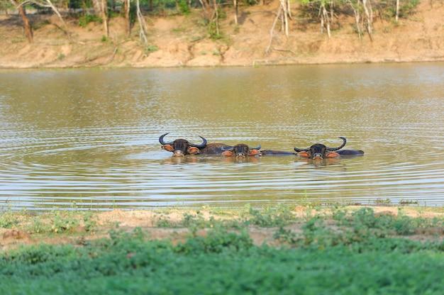 スリランカの湖で水浴びをしている水牛
