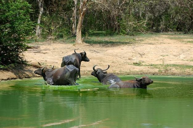 スリランカの湖で水牛が入浴しています