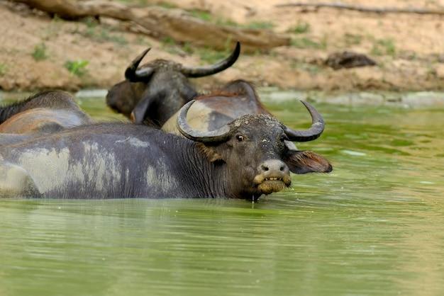 Water buffalo are bathing in a lake in sri lanka