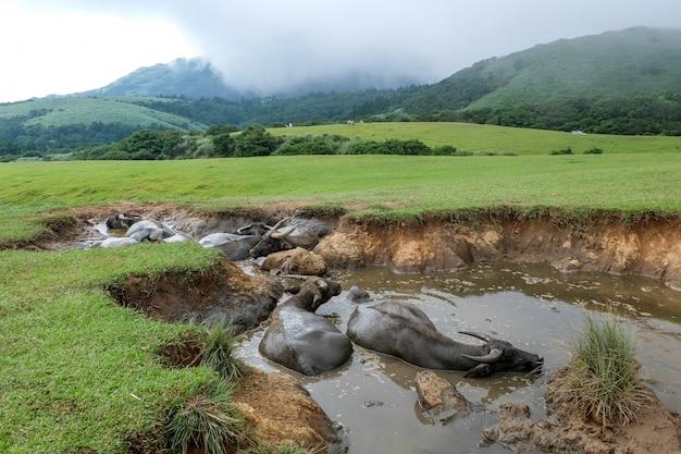 Water buffalo at qingtiangang