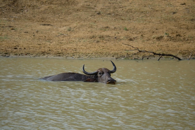 Water buffalos in yala national park, sri lanka