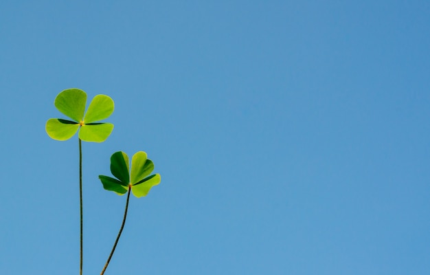 Water clover leaves with bright clear blue sky.