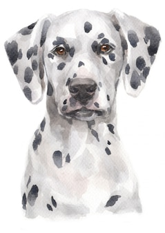 Water colour painting of dalmatian