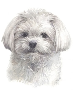 Water colour painting of maltese