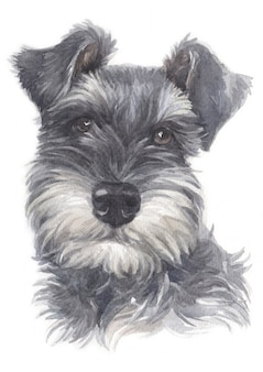 Water colour painting of miniature schnauzer