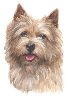 Water colour painting of norwich terrier