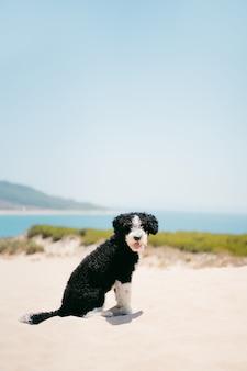 Водяная собака с высунутым языком на песчаной дюне с видом на пляж. летняя концепция путешествия и домашних животных.