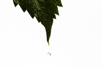 Water dripping from leaf