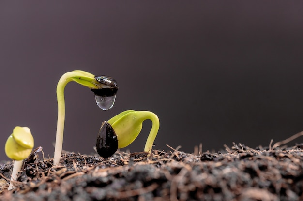 묘목에 떨어지는 물. 새로 태어난 식물입니다. 집에서 봄 수확철에 휴식과 레크리에이션을 위해 나무를 심습니다.